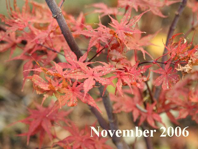 Japanese Maple Photographs Ariadne