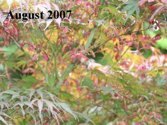 Acer palmatum 'Inazuma' in Summer