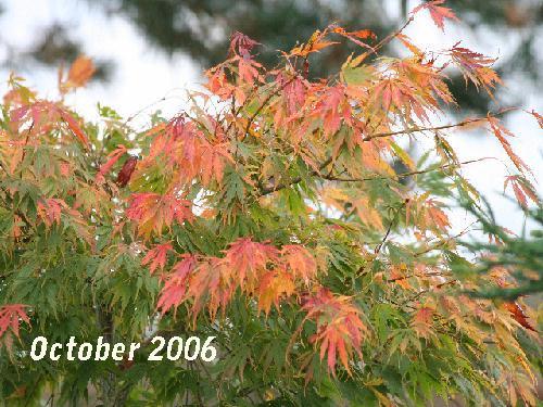 Acer Palmatum Omurayama